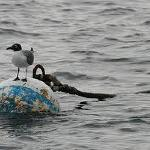 Mooring ball with  a tern.